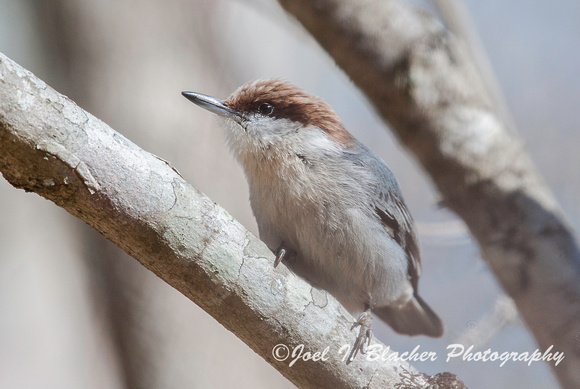 Brown Nuthatch in Dogwood 2