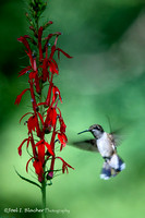 Hummingbird and Cardinal Flower-Chattahoochee Mile 314