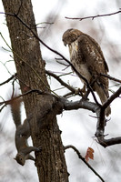 Re-tailed Hawk and-Squirrel-Resize