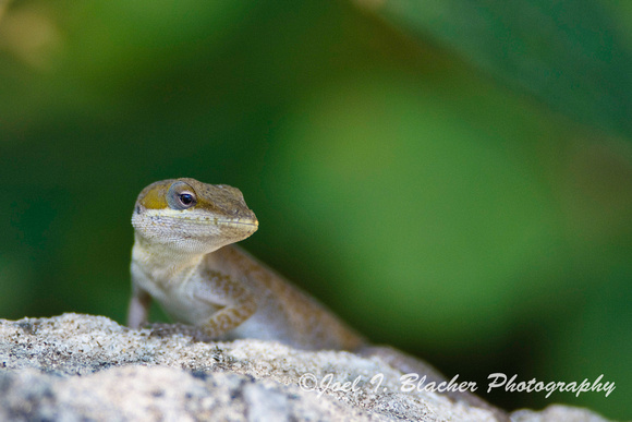 Anole carolinensis 2, Kennesaw Mtn