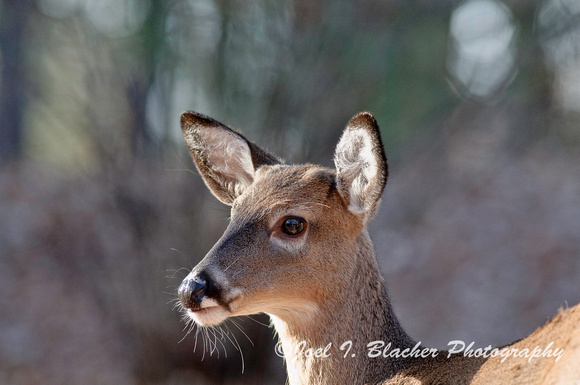 Young Doe in the Sun.jpg